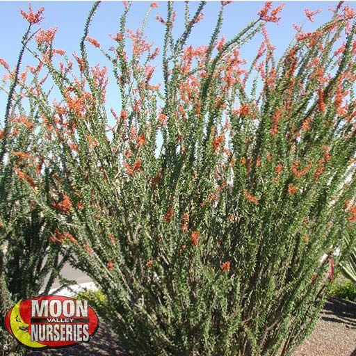 Desert Trees Ocotillo