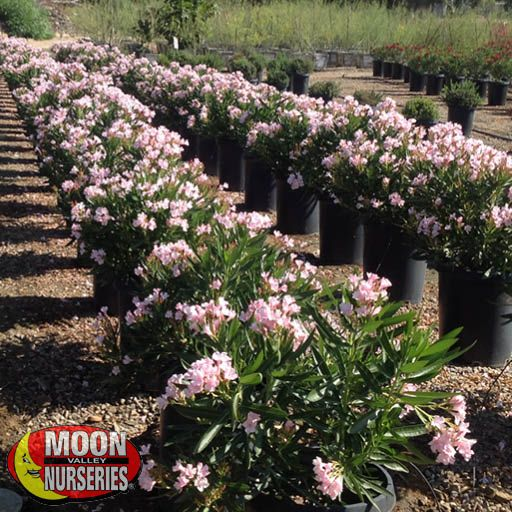 Hedge Dwarf Oleander Pink