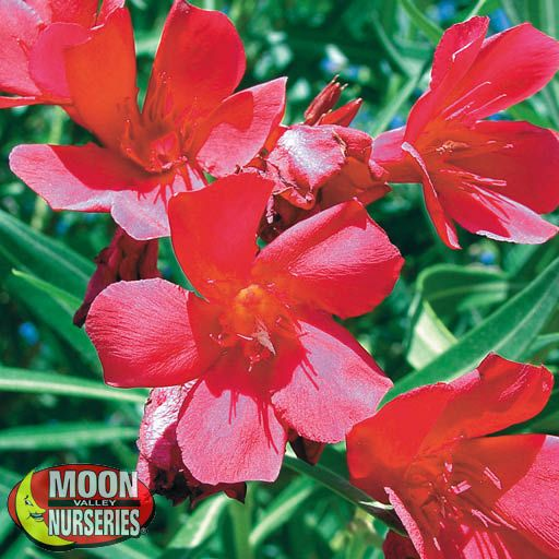 Hedge Dwarf Oleander Red
