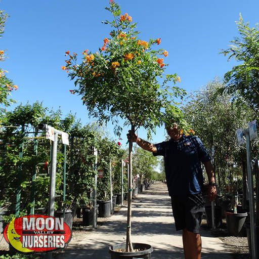 Flowering Trees Orange Jubilee Tree
