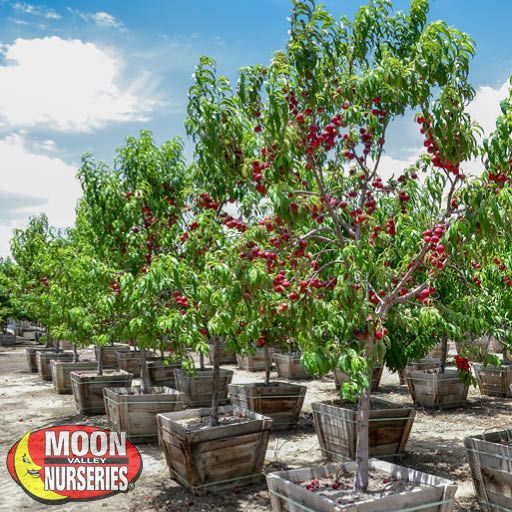 Citrus & Fruit Trees Panamint Nectarine