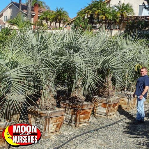 Palm Paradise Trees Pindo Palm