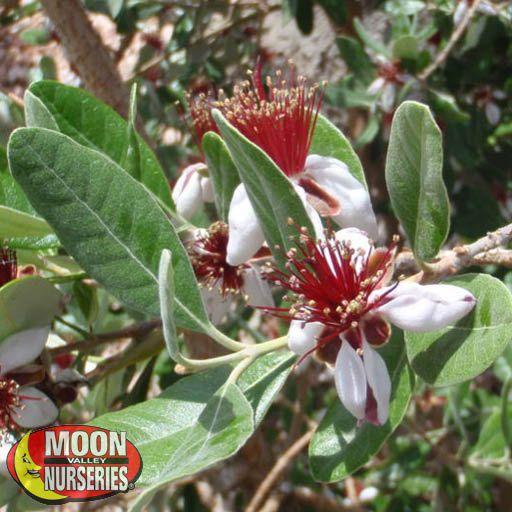 Citrus & Fruit Trees Pineapple Guava Tree