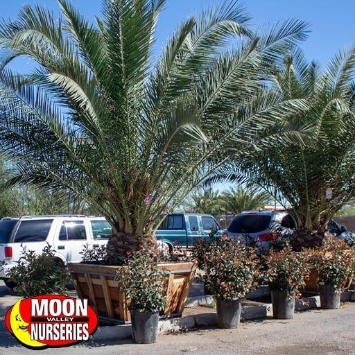 Palm Paradise Trees Pineapple Palm (Canary Island Date Palm)