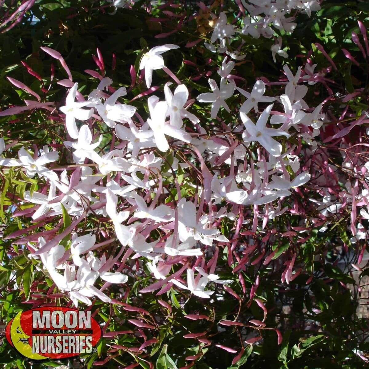 Winter to Spring Refresh TX Pink Jasmine