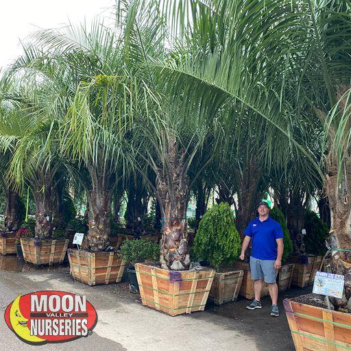 Palm Paradise Trees Hybrid King Piru Palm
