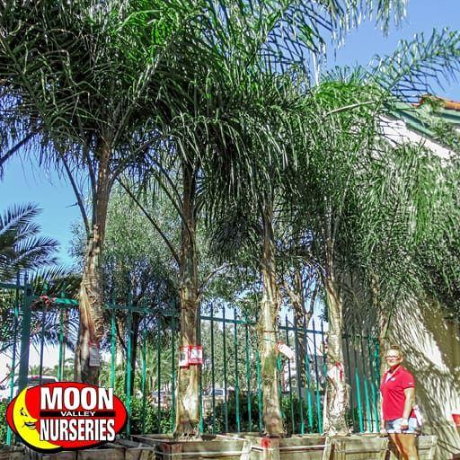 Palm Paradise Trees Piru Queen Palm
