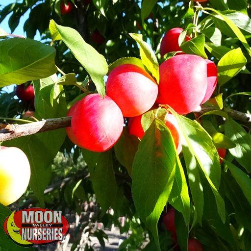 Citrus & Fruit Trees Mexican Plum
