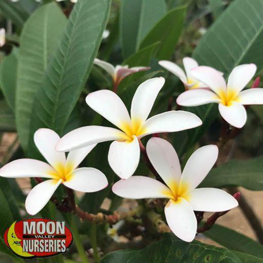 Shrubs Plumeria 'White'