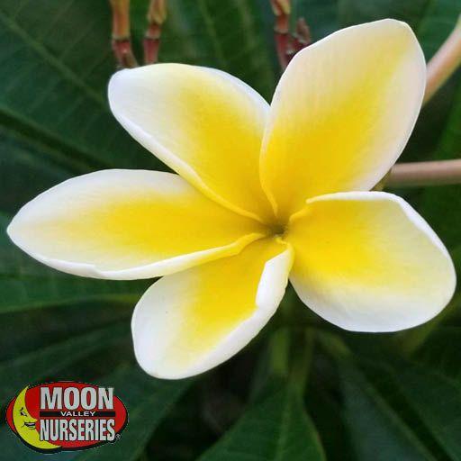 Shrubs Plumeria 'Yellow'