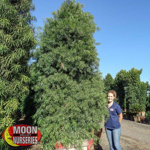 Winter to Spring Refresh TX Podocarpus