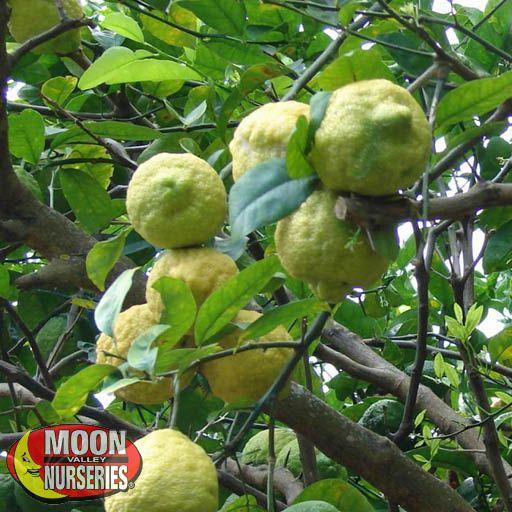 Citrus & Fruit Trees Ponderosa Lemon