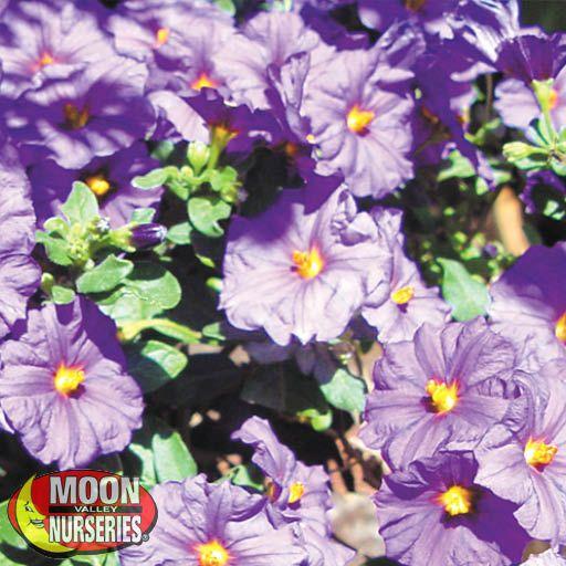 Shrubs Solanum 'Purple Potato Vine'