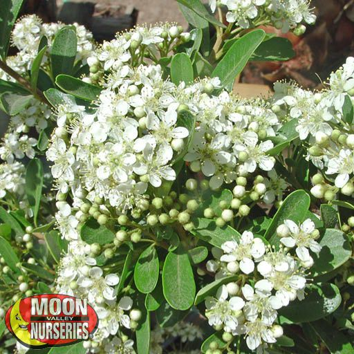 Winter to Spring Refresh TX Santa Cruz Pyracantha