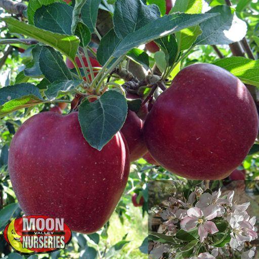 Citrus & Fruit Trees Red Delicious Apple