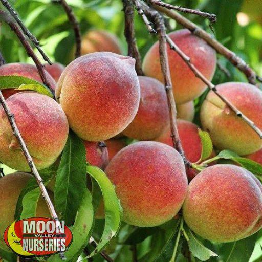 Citrus & Fruit Trees Red Baron Peach