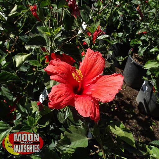 Shrubs Red Hibiscus