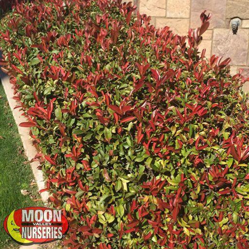 Winter to Spring Refresh NV Red-Tip Photinia