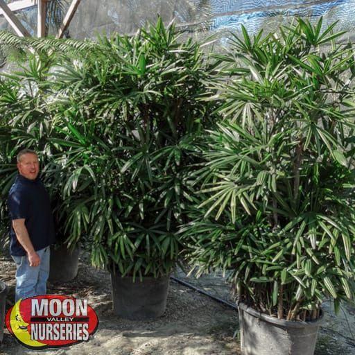Palm Paradise Trees Rhapis Palm