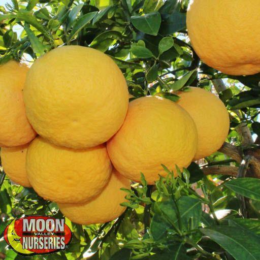 Citrus & Fruit Trees Rio Red Grapefruit