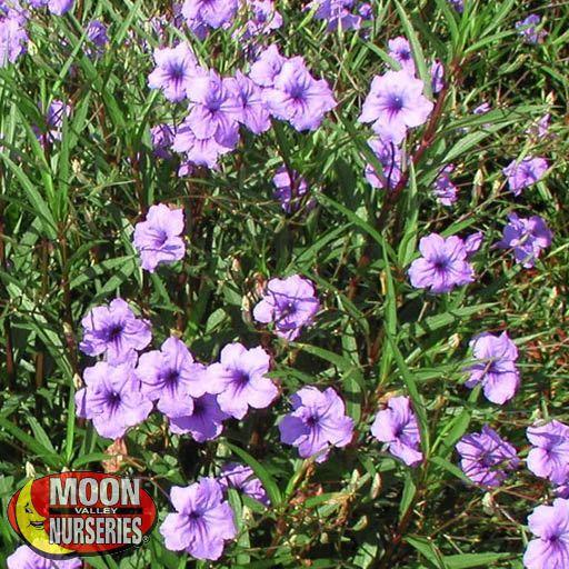 Shrubs Ruellia simplex 'Purple Showers'