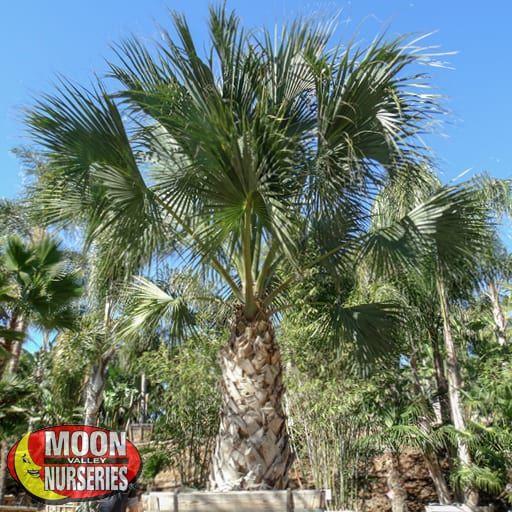 Palm Paradise Trees Sabal Palm