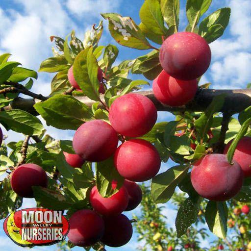 Citrus & Fruit Trees Santa Rosa Plum