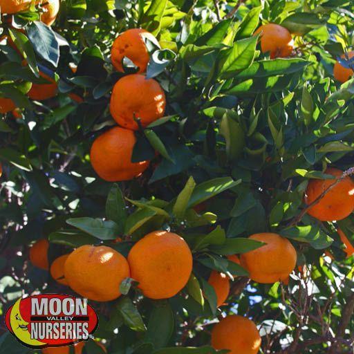 Citrus & Fruit Trees Seto Satsuma Mandarin Orange
