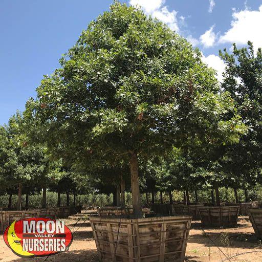 Trees of Winter Sierra Red Oak