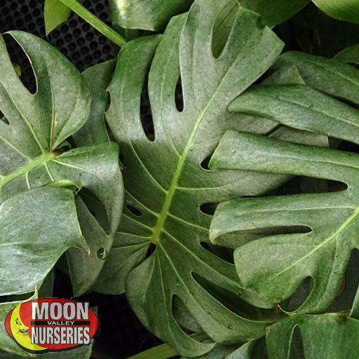 Shrubs Split-leaf Philodendron