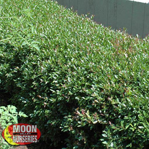 Hedge Pride of Houston Yaupon Holly