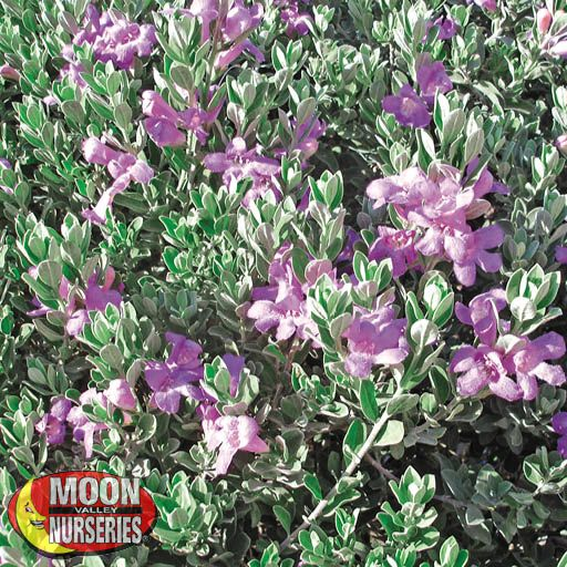 Winter to Spring Refresh NV Texas Sage