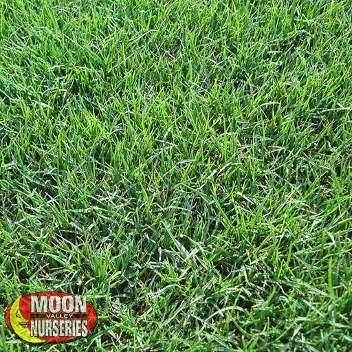 Sod Tifway 419 Grass