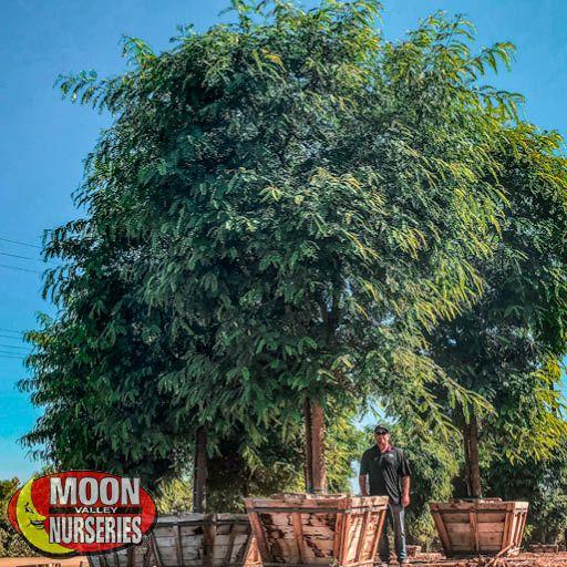Specimen Trees Tipu Specimen