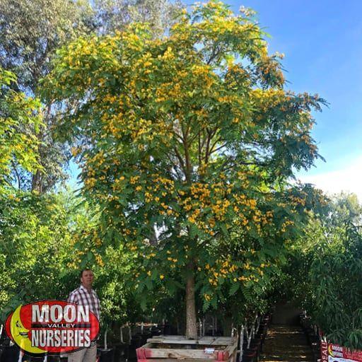 Flowering Trees of Summer Tipu