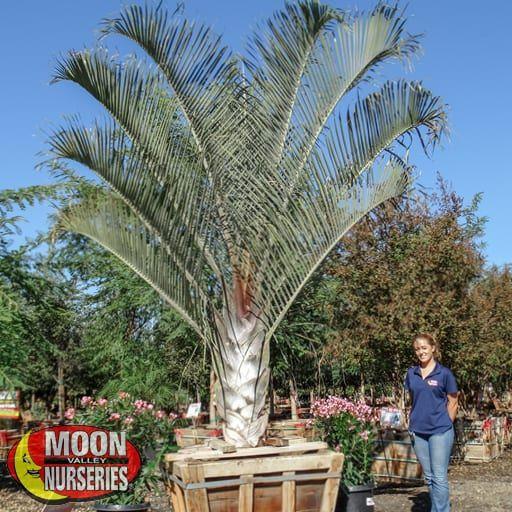 Palm Paradise Trees Triangle Palm