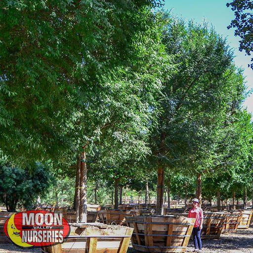 Specimen Trees Chinese Elm 'True Green' Specimen