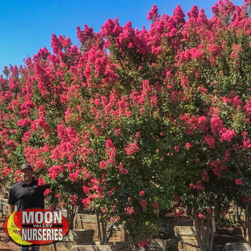 Flowering Trees Tuscarora Crape Myrtle