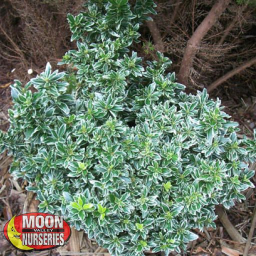 Winter to Spring Refresh CA Variegated Euonymus