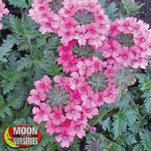 Shrubs Pink Trailing Verbena