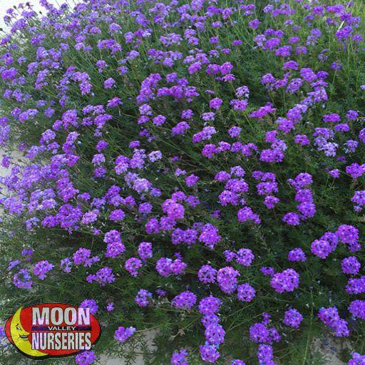 Shrubs Purple Trailing Verbena