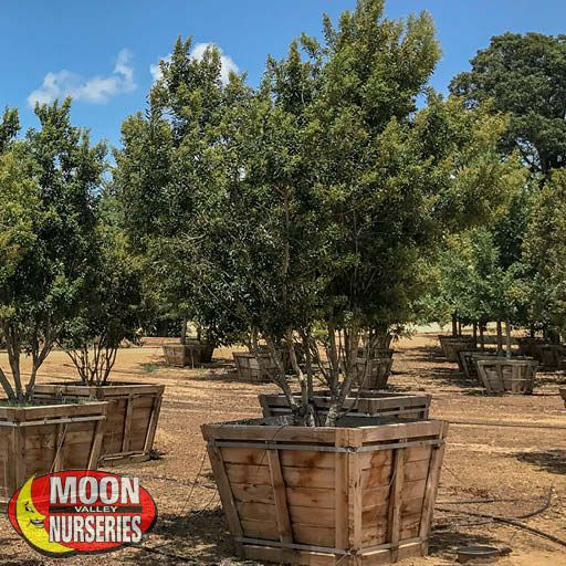 Hedge Material Wax Myrtle