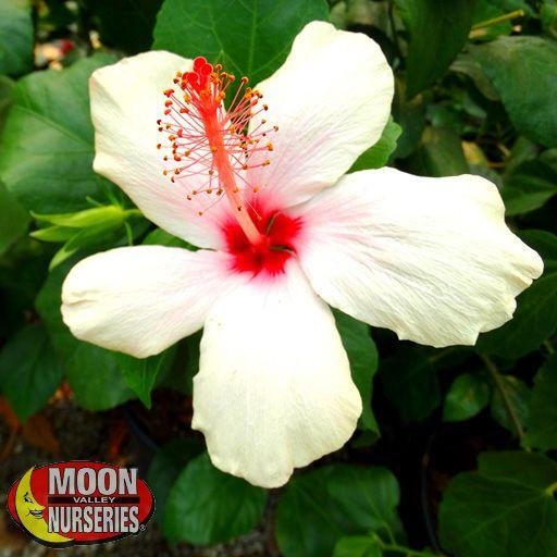 Shrubs White Hibiscus