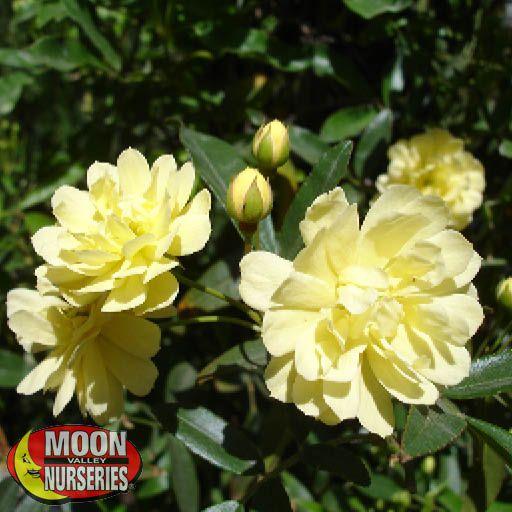 Vines Yellow Lady Banks Rose