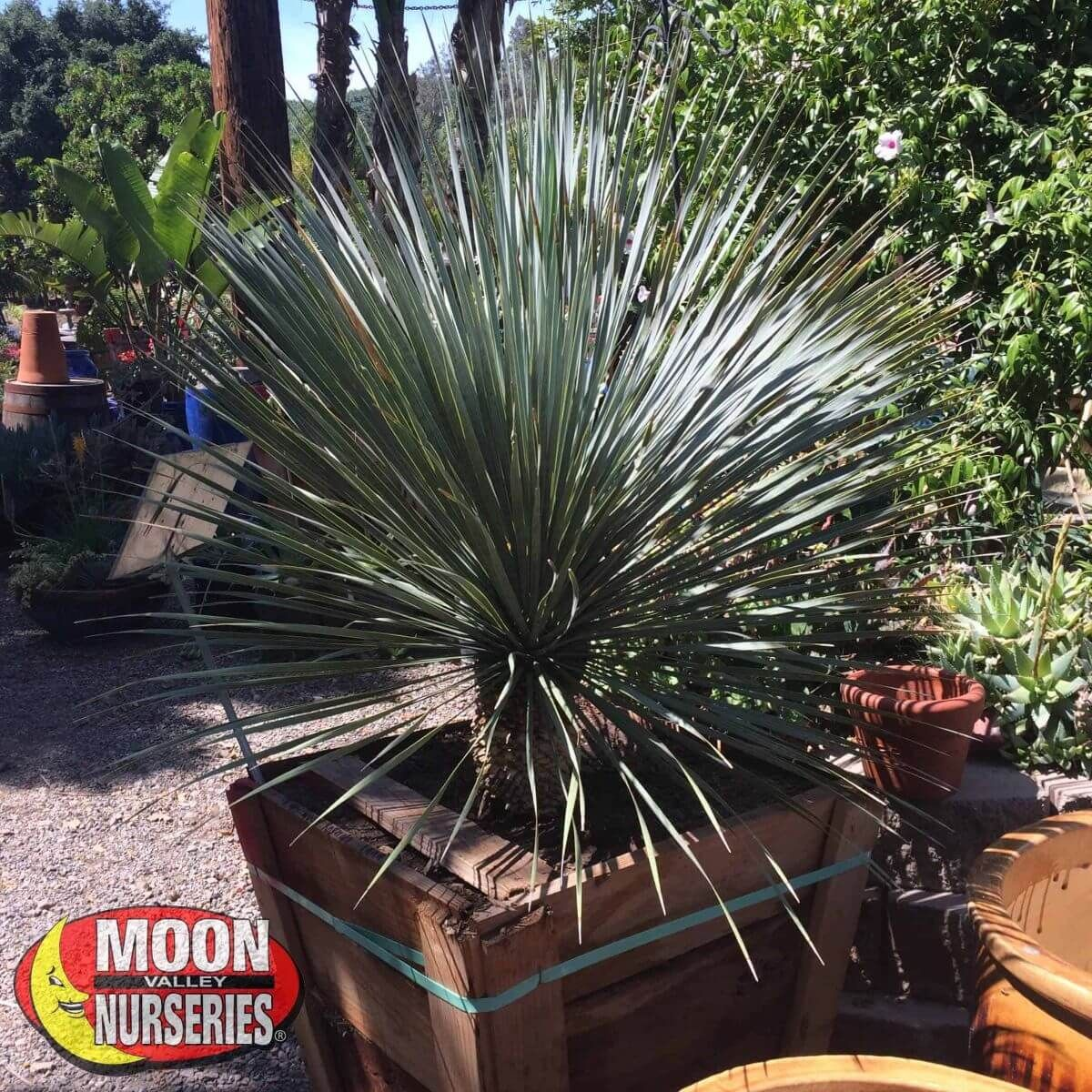 Succulents Yucca Rostrata