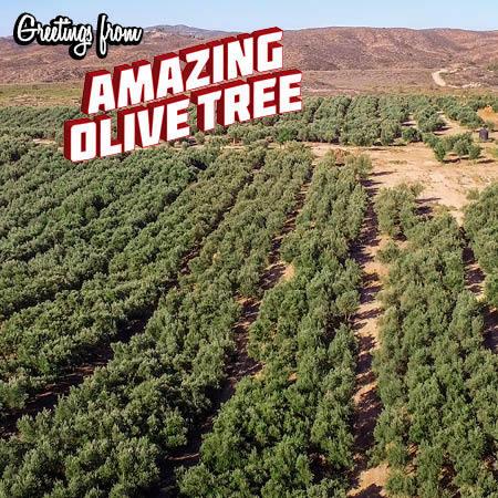 amazing-olive-tree