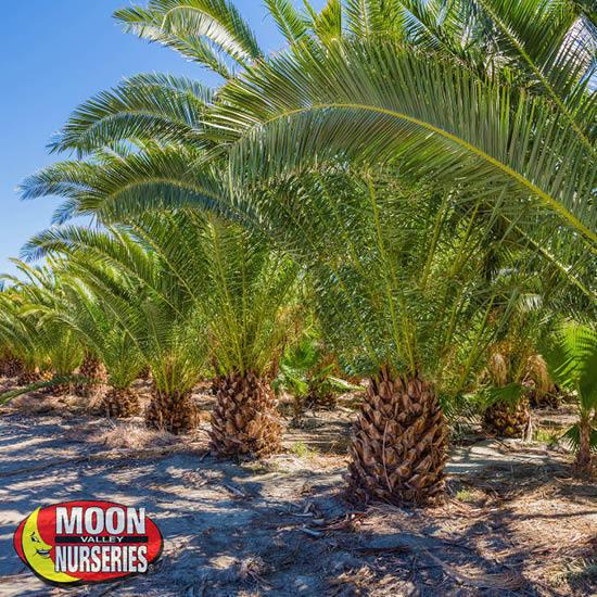 palm_farm_1