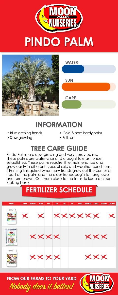 Pindo Palm care guide