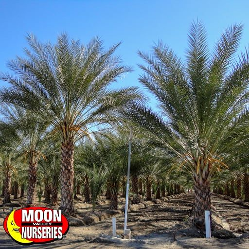 Date Palm Trees, Various Sizes