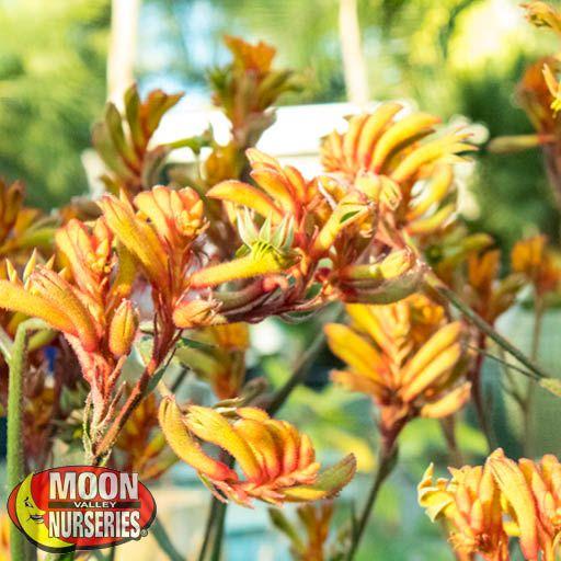 Kangaroo Paw in Bloom